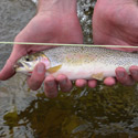 small cutthroat trout