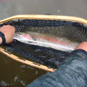taping a rainbow trout