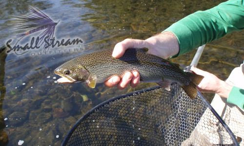 large sea-run cutthroat trout