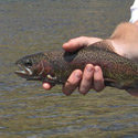red-band rainbow trout
