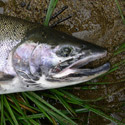 steelhead on grass